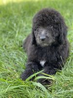 Labradoodle Puppies for sale in 1504 Wayland Ave, Sacramento, CA 95825, USA. price: NA