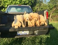 Labradoodle Puppies for sale in Easley, SC, USA. price: NA