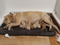 Labradoodle Puppies for sale in Norman, OK, USA. price: NA