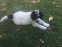 Labradoodle Puppies for sale in La Habra, CA 90631, USA. price: NA