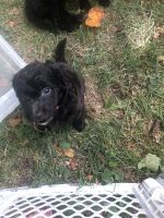 Labradoodle Puppies for sale in West Lebanon, IN 47991, USA. price: NA