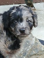 Labradoodle Puppies for sale in Lexington, OH 44904, USA. price: NA