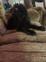 Labradoodle Puppies for sale in Bardstown, KY 40004, USA. price: NA