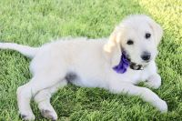 Labradoodle Puppies for sale in Cedar City, UT, USA. price: NA