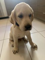 Labradoodle Puppies for sale in The Bronx, NY 10467, USA. price: NA