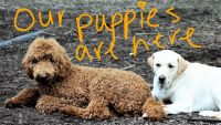 Labradoodle Puppies for sale in Lagrange, OH 44050, USA. price: NA