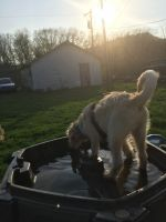 Labradoodle Puppies for sale in Reedsville, PA, USA. price: NA