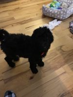 Labradoodle Puppies for sale in Dothan, AL, USA. price: NA