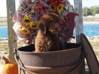 Labradoodle Puppies for sale in Columbus Grove, OH 45830, USA. price: NA