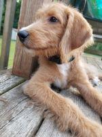 Labradoodle Puppies for sale in South Bend, IN, USA. price: NA