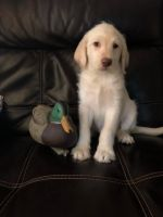 Labradoodle Puppies for sale in Finlayson, MN 55735, USA. price: NA