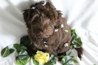 Labradoodle Puppies for sale in Wellington, FL, USA. price: NA