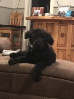 Labradoodle Puppies for sale in Eufaula, OK 74432, USA. price: NA