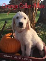 Labradoodle Puppies for sale in Savannah, MO 64485, USA. price: NA