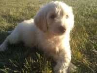 Labradoodle Puppies for sale in Woodburn, IN 46797, USA. price: NA