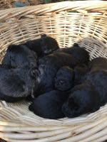 Labradoodle Puppies for sale in Auburn, AL, USA. price: NA