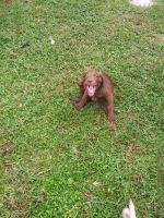 Labradoodle Puppies for sale in Micco, FL, USA. price: NA