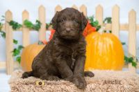 Labradoodle Puppies for sale in Clare, MI 48617, USA. price: NA