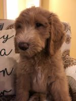 Labradoodle Puppies for sale in Auburn, AL 36830, USA. price: NA