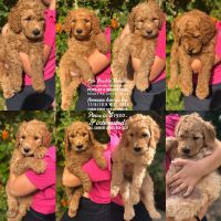 Labradoodle Puppies for sale in Riverside, CA 92503, USA. price: NA
