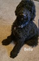 Labradoodle Puppies for sale in Menomonee Falls, WI 53051, USA. price: NA