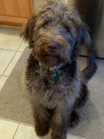 Labradoodle Puppies for sale in Knoxville, TN, USA. price: NA