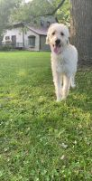 Labradoodle Puppies for sale in North Chili, NY 14514, USA. price: NA