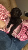 Labradoodle Puppies for sale in Las Vegas, NV, USA. price: NA
