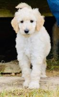 Labradoodle Puppies for sale in Saltville, VA, USA. price: NA