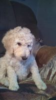 Labradoodle Puppies for sale in McClelland, IA 51548, USA. price: NA