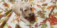 Labradoodle Puppies for sale in Lexington Park, MD, USA. price: NA