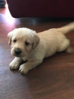 Labradoodle Puppies for sale in Swansea, SC, USA. price: NA