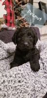 Labradoodle Puppies for sale in Rogers, AR, USA. price: NA