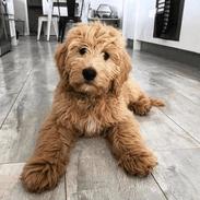 Labradoodle Puppies for sale in Alabama City, Gadsden, AL 35904, USA. price: NA