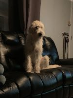Labradoodle Puppies for sale in Prineville, OR 97754, USA. price: NA