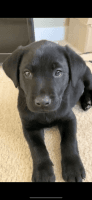 Labradoodle Puppies for sale in Norman, OK 73071, USA. price: NA