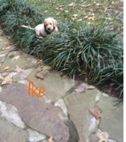 Labradoodle Puppies for sale in Ellerbe, NC 28338, USA. price: NA