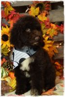 Labradoodle Puppies for sale in Bowling Green, MO 63334, USA. price: NA