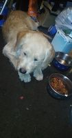 Labradoodle Puppies for sale in Avondale, PA 19311, USA. price: NA