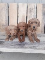 Labradoodle Puppies for sale in Fort Wayne, IN, USA. price: NA