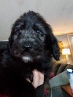 Labradoodle Puppies for sale in Millington, MI 48746, USA. price: NA