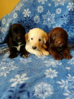 Labradoodle Puppies for sale in Jefferson City, MO, USA. price: NA