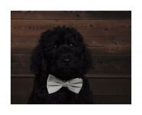 Labradoodle Puppies for sale in Maple Shade Township, NJ, USA. price: NA