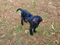 Labradoodle Puppies for sale in Henrico, VA 23294, USA. price: NA