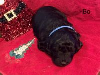 Labradoodle Puppies for sale in Warrior, AL, USA. price: NA