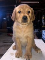 Labradoodle Puppies for sale in Chula Vista, CA 91910, USA. price: NA