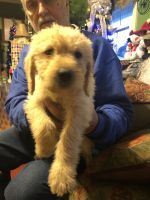 Labradoodle Puppies for sale in Gaffney, SC, USA. price: NA