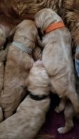 Labradoodle Puppies for sale in Palmdale, CA, USA. price: NA