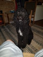 Labradoodle Puppies for sale in Catawba, SC 29704, USA. price: NA