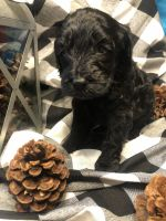 Labradoodle Puppies for sale in Drakesboro, KY 42337, USA. price: NA